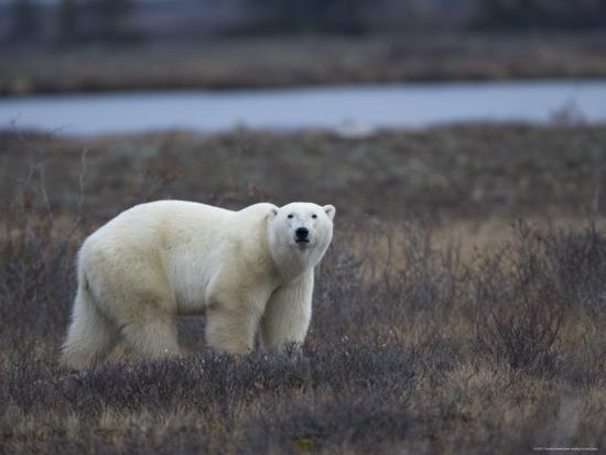 thorsten-milse-polar-bear-ursus-maritimus-churchill-manitoba-canada
