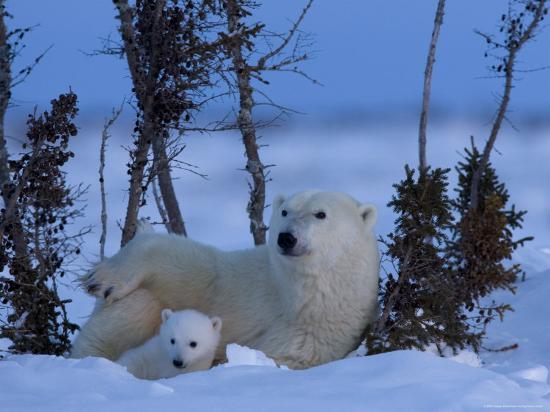 thorsten-milse-polar-bear-with-cubs-ursus-maritimus-churchill-manitoba-canada