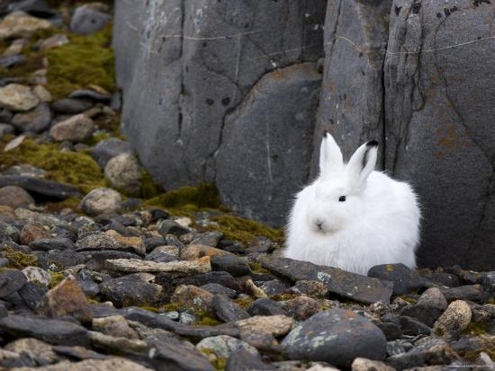 thorsten-milse-snow-hare-lepus-americanus-churchill-manitoba-canada