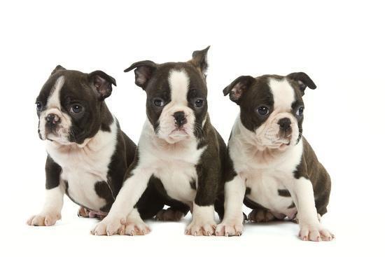 three-boston-terrier-puppies-in-studio