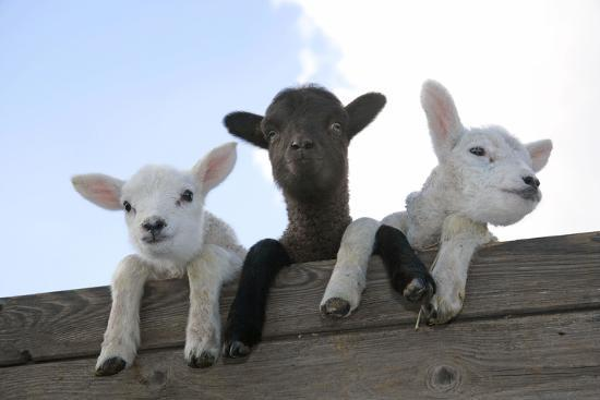 three-lambs-looking-over-fence