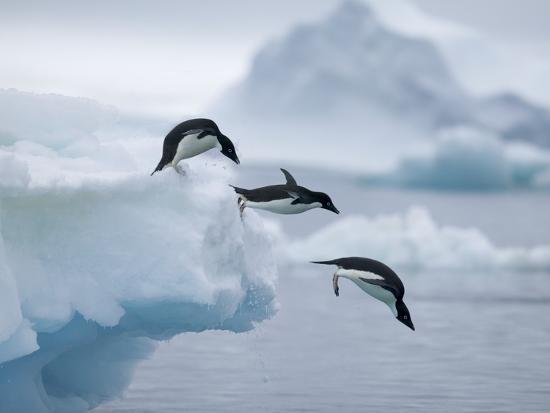 tim-davis-adelie-penguins-jumping-into-ocean