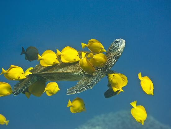 tim-davis-green-sea-turtle-with-passengers