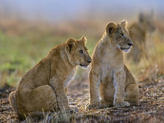 tim-fitzharris-african-lion-cubs-alerted-to-a-sound-kenya-africa