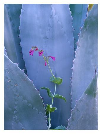 tim-fitzharris-agave-and-parry-s-penstemon-close-up-north-america