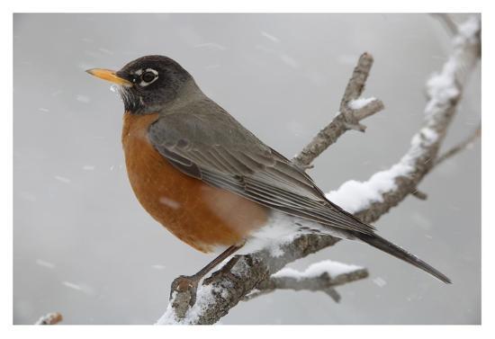 tim-fitzharris-american-robin-perching-in-snow-storm-north-america
