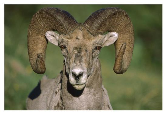 tim-fitzharris-bighorn-sheep-close-up-north-america
