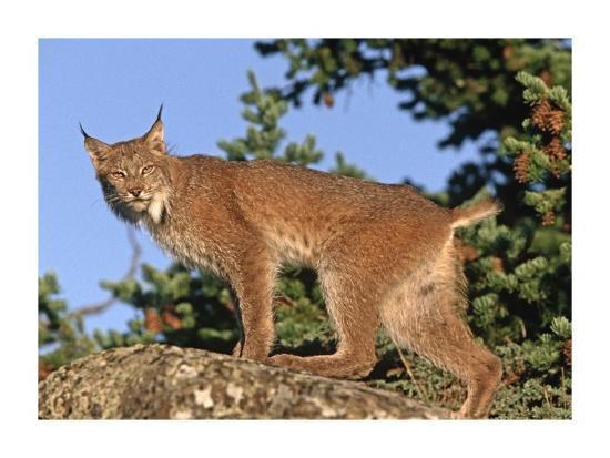 tim-fitzharris-canada-lynx-climbing-on-rock-north-america