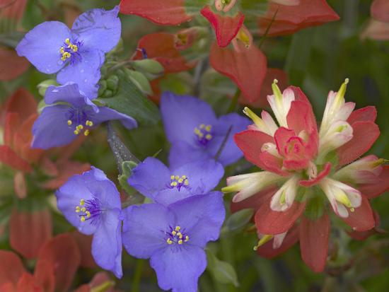 tim-fitzharris-close-up-of-spiderwort-and-paintbrushes-texas-usa