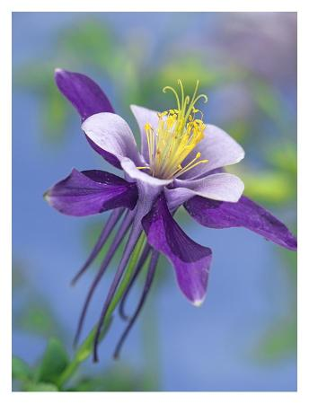 tim-fitzharris-colorado-blue-columbine-close-up-of-bloom-north-america