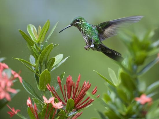 tim-fitzharris-female-green-crowned-brilliant-hummingbird
