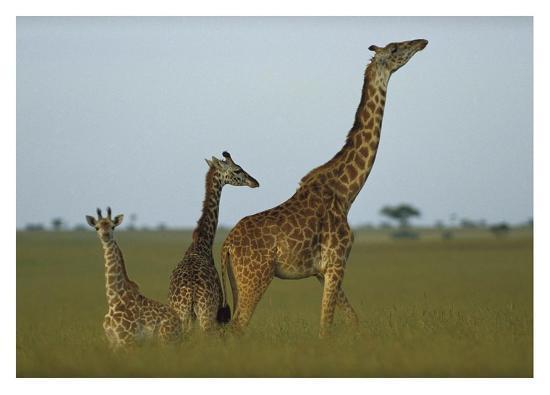 tim-fitzharris-giraffe-adult-and-juveniles-on-savanna-kenya