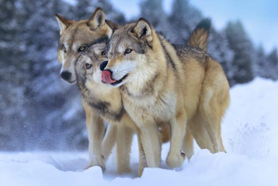 tim-fitzharris-gray-wolves-in-snow-montana