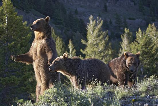 tim-fitzharris-grizzly-bear-standing-protectively-with-two-year-old-cubs-montana-usa