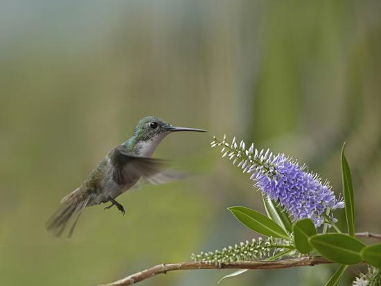 tim-fitzharris-immature-green-crowned-woodnymph-hummingbird-at-a-flower