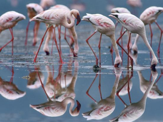 tim-fitzharris-lesser-flamingos-and-their-reflections-kenya-africa