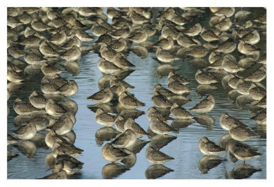 tim-fitzharris-long-billed-dowitcher-flock-sleeping-in-shallow-water-north-america