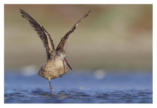 tim-fitzharris-marbled-godwit-stretching-its-wings-north-america