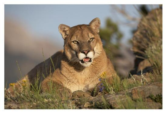 tim-fitzharris-mountain-lion-portrait-north-america