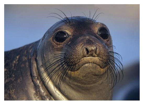 tim-fitzharris-northern-elephant-seal-pup-north-america