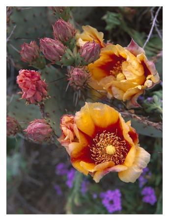 tim-fitzharris-opuntia-in-bloom-north-america