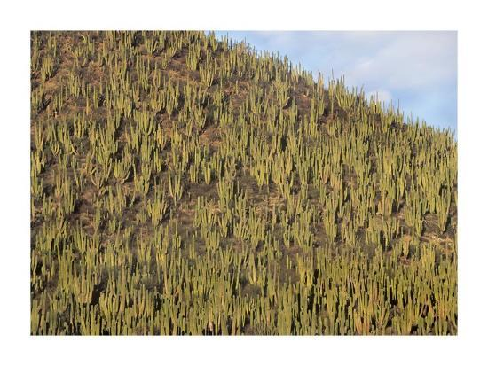 tim-fitzharris-organ-pipe-cactus-cluster-covering-hillside-guaymas-sonora-mexico