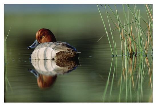 tim-fitzharris-redhead-duck-male-with-reflection-near-reeds-washington