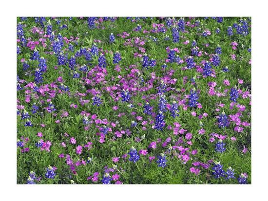 tim-fitzharris-sand-bluebonnet-and-pointed-phlox