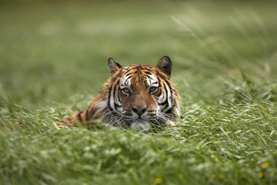 tim-fitzharris-siberian-tiger-hiding-in-the-grass-montana-usa