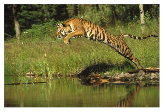 tim-fitzharris-siberian-tiger-leaping-across-river-asia