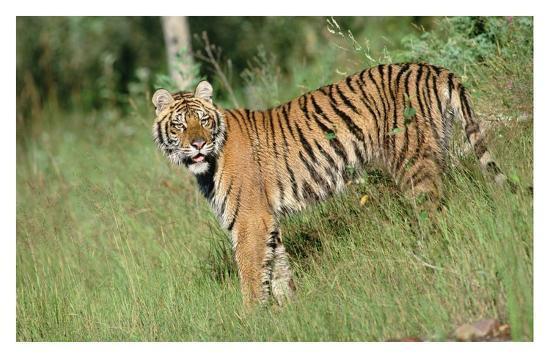 tim-fitzharris-siberian-tiger-standing-in-green-grass