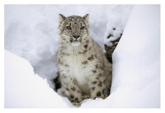 tim-fitzharris-snow-leopard-adult-portrait-in-snow-native-to-asia