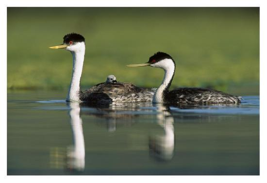 tim-fitzharris-western-grebe-couple-with-one-parent-carrying-chick-on-its-back-new-mexico