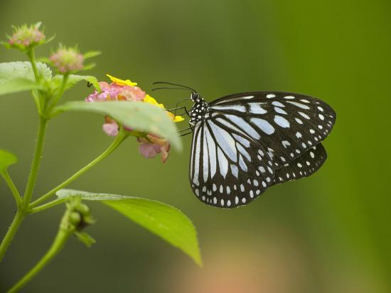 tim-fitzharris-white-tree-nymph-butterfly-on-lantana-philippines