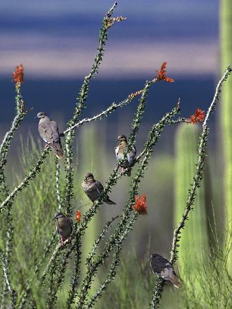 tim-fitzharris-white-winged-doves-perched-on-ocotillo-arizona-usa