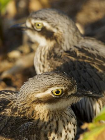 tim-laman-bush-stone-curlew-burhinus-grallarius-camouflaged-in-leaf-litter