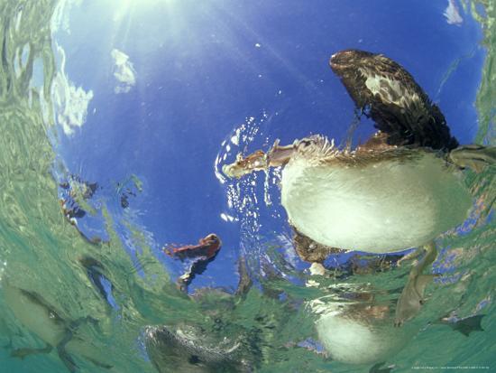 tobias-bernhard-brown-pelicans-from-below-mexico