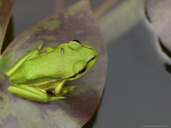 tobias-bernhard-green-and-golden-bell-frog-juvenile-on-water-lily-leaf-new-zealand