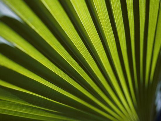 todd-gipstein-a-close-view-of-sunlight-shining-through-the-leaves-of-a-palm-tree