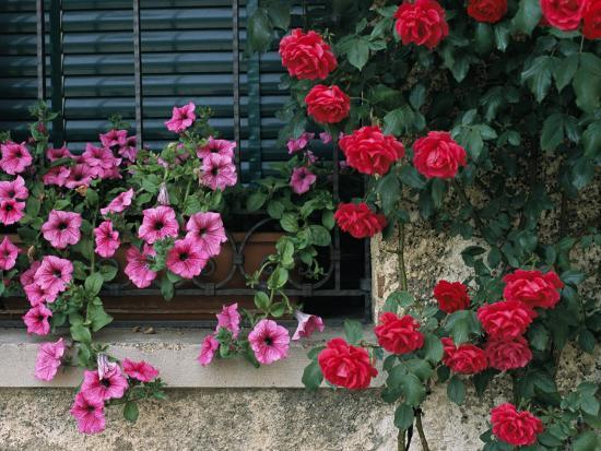 todd-gipstein-close-view-of-corner-of-window-with-petunia-flower-box-and-red-roses