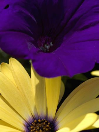 todd-gipstein-purple-petunia-and-yellow-osteospermum-sitting-side-by-side-groton-connecticut