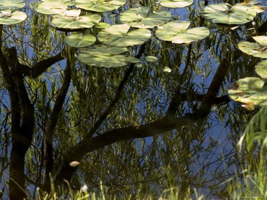 todd-gipstein-weeping-willow-tree-reflected-in-a-water-lily-pond-groton-connecticut