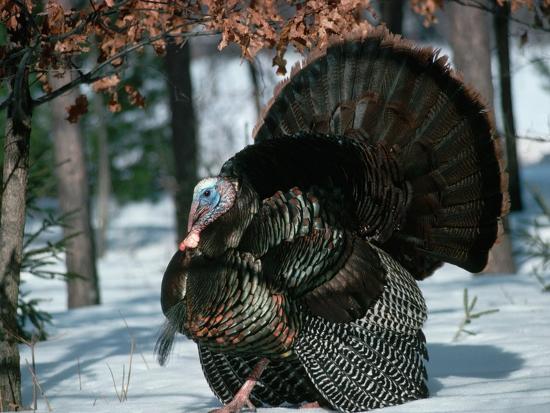 tom-brakefield-wild-turkey