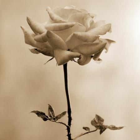 tom-marks-long-stemmed-rose