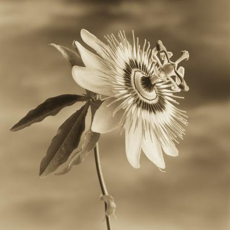 tom-marks-passion-flower-against-the-sky