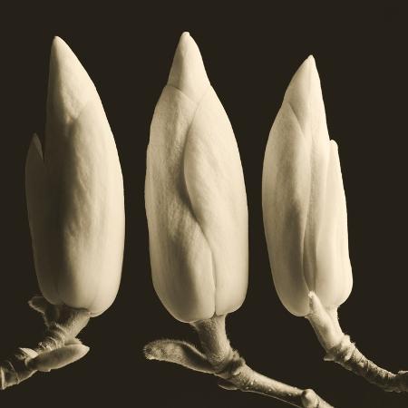 tom-marks-three-magnolia-buds