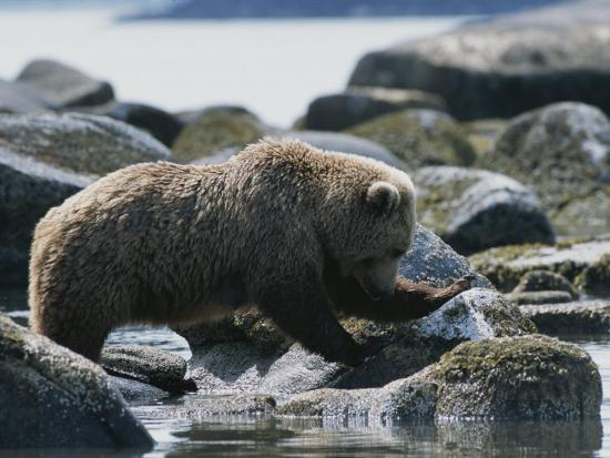tom-murphy-a-brown-bear-sow-on-a-rocky-shore
