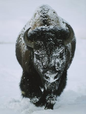 tom-murphy-a-frost-covered-american-bison-bull-walks-through-the-snow