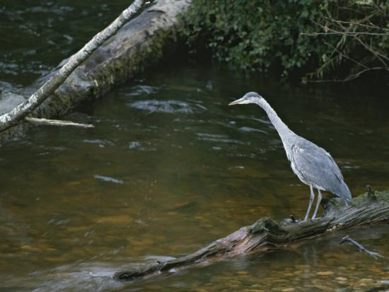 tom-murphy-a-great-blue-heron-standing-on-a-log-watching-for-passing-fish