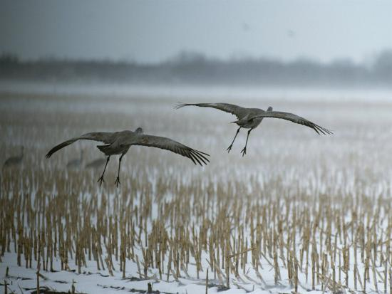 tom-murphy-a-pair-of-sandhill-cranes-fly-over-harvested-cornfield-with-snow